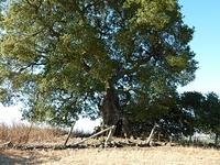The old oak, may be 300 years old
