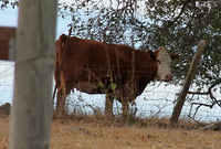 Cow under the big oak