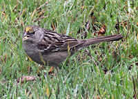 Golden Crowned Sparrow 3