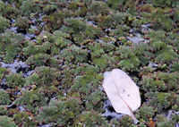 Azolla (Mosquito Fern) on the pond